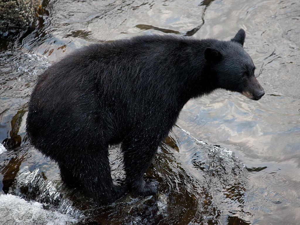 Black Bear in creek.