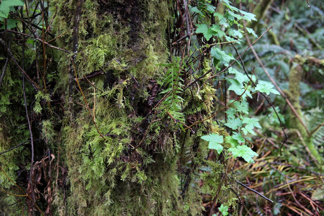Tree with moss, ferns and various other greenery. Take near Tillamook on the Oregon Coast.